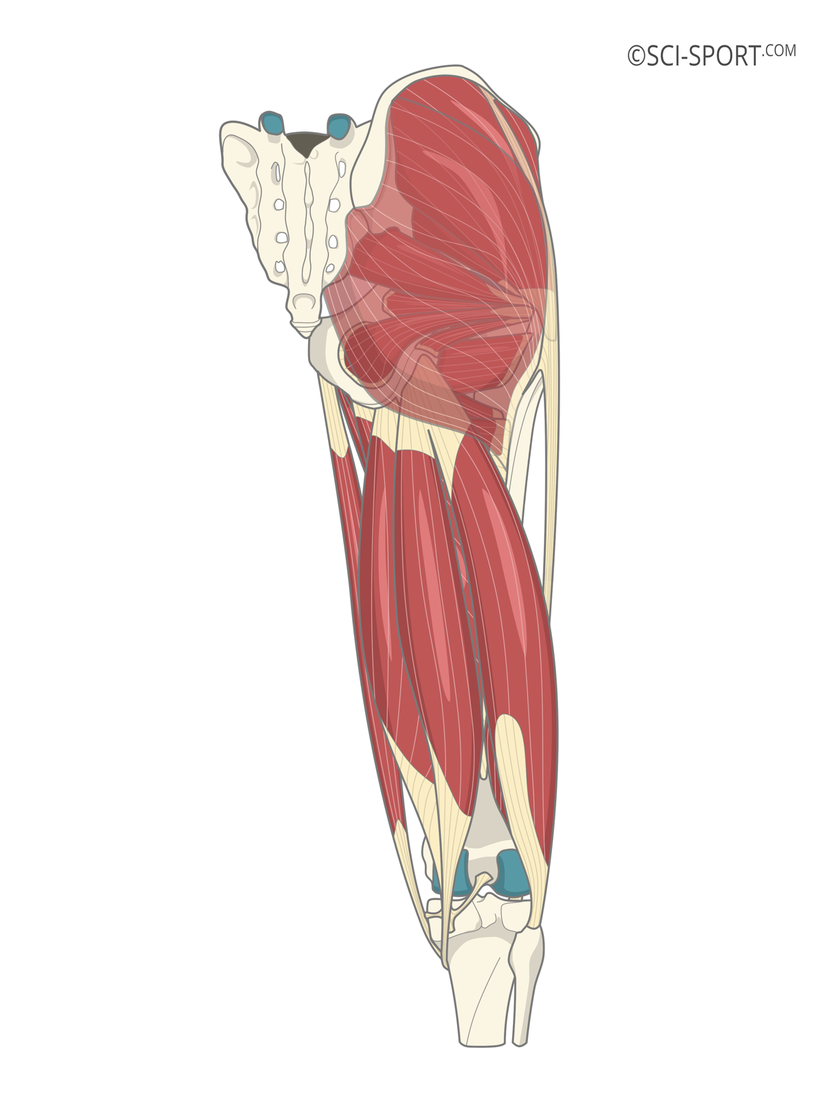Illustration of hip and posterior thigh muscles.