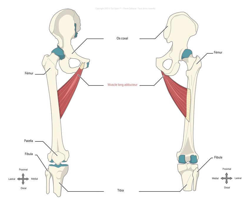 sciences du sport pr 233 vention des blessures 224 l aine sollicitation musculaire des adducteurs