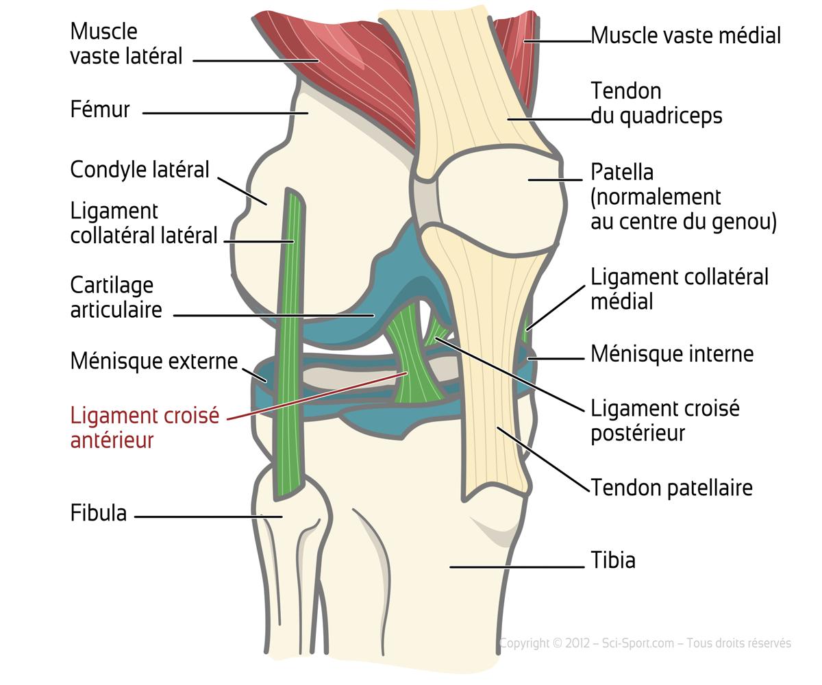 Sciences du sport ligaments crois s ant rieurs et for Douleur au genou gauche interieur