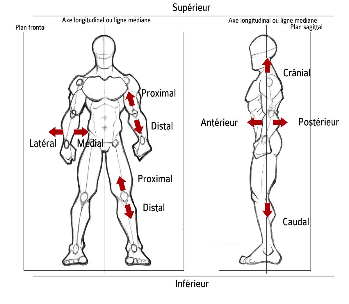 Sciences du Sport | Description anatomique du mouvement